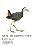 White-breasted Waterhen